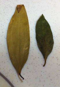 Indian bay leaf and Bay laurel leaf
