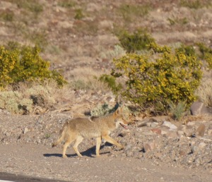 Coyote, Panamint Valley
