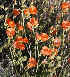 Desert Globemallow, Death Valley