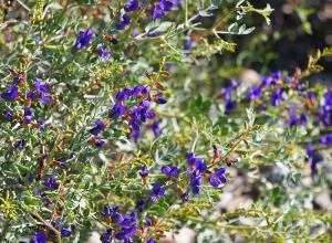 Indigo Bush, Death Valley